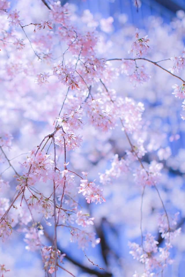 紀尾井町 桜