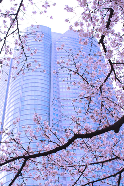 六本木ヒルズ 桜