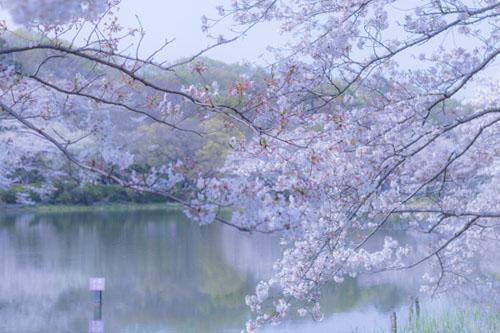 今年はお花見を沢山楽しむことができました。桜コレクション