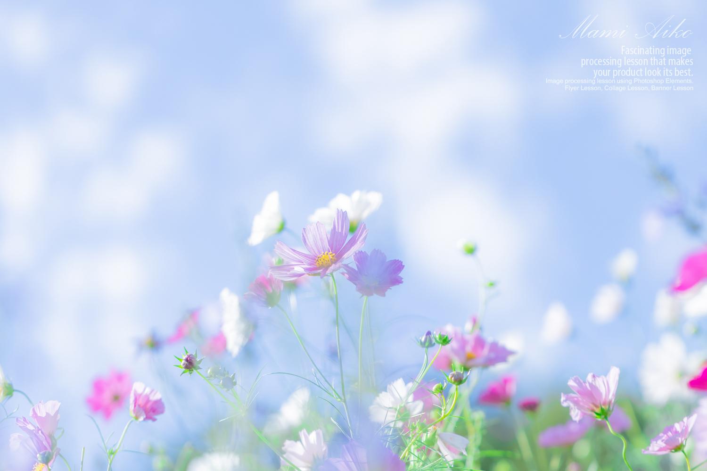 里山ガーデン コスモス撮影